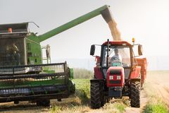 Grano di versamento del fagiolo della soia nel rimorchio di trattore dopo il raccolto immagini stock