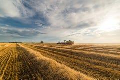 Grano di versamento del grano nel rimorchio di trattore dopo il raccolto Fotografia Stock