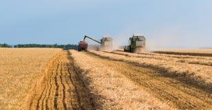 Grano di versamento del grano nel rimorchio di trattore dopo il raccolto Fotografie Stock Libere da Diritti