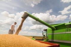 Grano di versamento del grano nel rimorchio di trattore dopo il raccolto fotografia stock libera da diritti