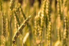 Grano dorato del giacimento del frumento tenero Immagine Stock