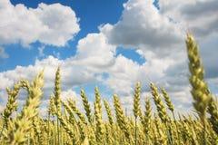 Grano dorato giallo maturo contro cielo blu con le nuvole bianche Concetto della raccolta Raccolta del grano del grano Immagini Stock