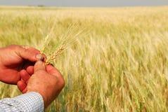 Grano duro in mani del coltivatore Fotografie Stock