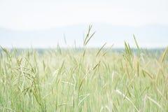 Grano ed erbe che crescono davanti all'orizzonte fotografia stock