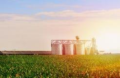 Grano en campo de maíz El sistema de los tanques de almacenamiento cultivó la planta de tratamiento agrícola de las cosechas imagen de archivo libre de regalías