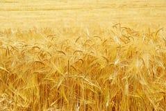 Grano en la cosecha, fondo. Fotografía de archivo libre de regalías