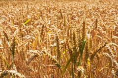 Grano field3 Fotografia Stock