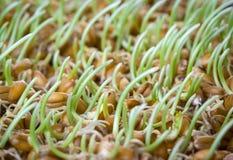 Resultado de imagen para trigo germinado
