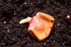Grano germinado del maíz Foto de archivo