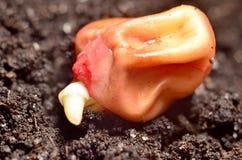Grano germinado del maíz Fotos de archivo libres de regalías