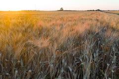 Grano giallo del grano pronto per il raccolto che cresce in un campo dell'azienda agricola Immagine Stock