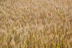 Grano giallo pronto per il raccolto Fotografia Stock Libera da Diritti