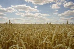 Grano giallo pronto per il raccolto che cresce in un campo dell'azienda agricola Immagini Stock