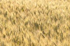 Grano giallo su un campo di grano di estate Immagine Stock Libera da Diritti