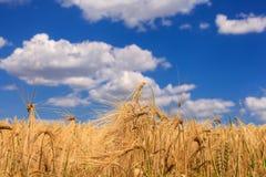 Grano maturo contro un cielo blu fotografia stock libera da diritti