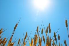 Grano maturo sotto cielo blu ed il sole Immagine Stock