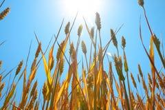 Grano maturo sotto cielo blu ed il sole Fotografie Stock