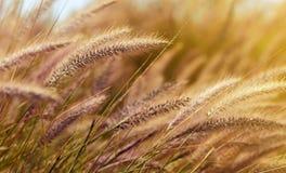 Grano nel vento alla luce piacevole del sole di sera immagine stock libera da diritti