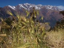 Grano nelle montagne Fotografie Stock Libere da Diritti