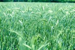 Grano non maturo - giacimento di grano Immagini Stock Libere da Diritti