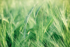 Grano non maturo (giacimento di grano) Fotografie Stock Libere da Diritti