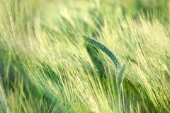 Grano non maturo (giacimento di grano) - campo non maturo dei raccolti agricoli Immagine Stock