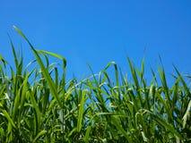 Grano non maturo nel cielo blu Immagine Stock