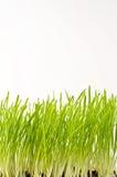 Grano primaverile verde fresco isolato su fondo bianco Fotografia Stock Libera da Diritti