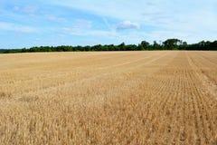 Grano raccolto nel campo con i gambi tagliati Immagini Stock Libere da Diritti
