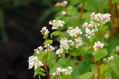 Grano saraceno di fioritura Fagopyrum esculentum immagine stock