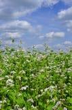 Grano saraceno di fioritura su una priorità bassa delle nubi Immagine Stock Libera da Diritti