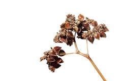 Grano saraceno isolato Fotografia Stock