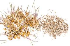 Grano, segale ed orzo germinati Immagine Stock Libera da Diritti
