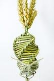 Grano torto nella matrice del DNA Immagini Stock