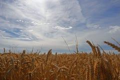 Grano in un campo - alto vicino Fotografia Stock