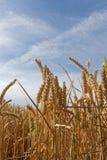 Grano in un campo - alto vicino Fotografie Stock