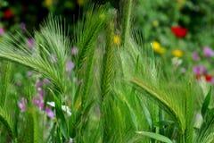 Grano in un campo in erba verde con i vari fiori fotografie stock libere da diritti