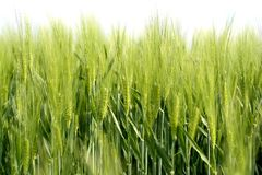 Grano Verde 1 Royalty Free Stock Images