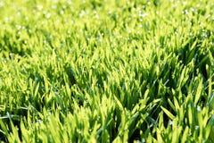 Grano verde con le gocce della rugiada dell'acqua come fondo immagine stock libera da diritti