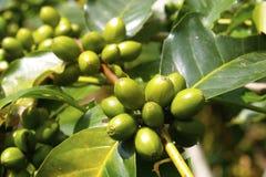 Grano verde del café en rama en cafeto foto de archivo