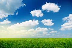 Grano verde e bello cielo Immagine Stock