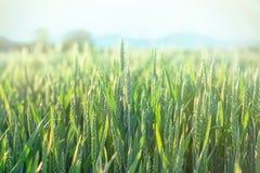 Grano verde - grano non maturo (giacimento di grano) Immagini Stock Libere da Diritti