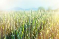 Grano verde - grano non maturo (giacimento di grano) Fotografia Stock Libera da Diritti