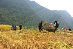 Grano vietnamita del riso degli agricoltori che trebbia durante il tempo di raccolto fotografia stock