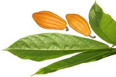 Grano y hoja de cacao Imágenes de archivo libres de regalías