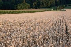 Grano y maíz Fotos de archivo libres de regalías