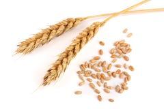 Grano y oídos del trigo aislados en el fondo blanco Visión superior Imagen de archivo libre de regalías