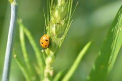 Grano y planta de Mustrad con señora Bug Plant Imágenes de archivo libres de regalías