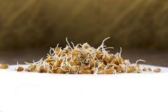 Granos brotados del trigo Fotografía de archivo libre de regalías