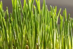 Granos brotados del trigo Imagen de archivo libre de regalías